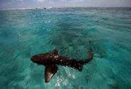 Marine experts want revisiting of protected sharks, rays