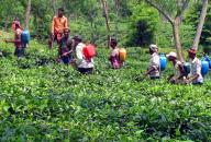 Committed to Assam, tea company rejects terror threats