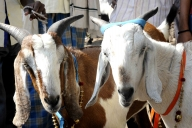 Bihar police receive complaint about 'murder' of billy goat