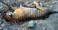 Tiger carcass found in Pilibhit Reserve