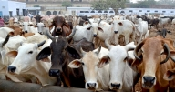 Sri Lanka to amend laws to ban cattle slaughter