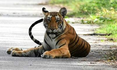 Tiger census sets Guinness Record for world's largest camera...