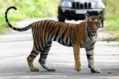 'Bagh Mitras' to help check man-tiger conflict in UP