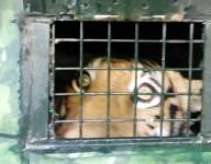 Man-eating tiger in Karnataka forest traced and captured (Lead)