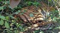 Man-eating tiger in Karnataka forest tracked, captured (2nd Lead)
