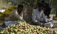 Apple arrears touch Rs 2,449.19 lakh: HImachal Minister