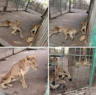 Twitter erupts after horrifying images of emaciated lions