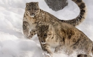 Unchecked climate change could extinct species like snow leopard