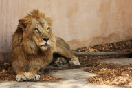 12-year-old lion falls prey to Covid in Chennai zoo