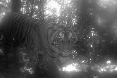 Tiger tranquilized, nylon rope around neck removed