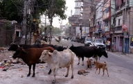 One held for feeding firecracker-laced ball to cow