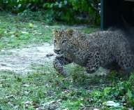 Teen mauled to death by leopard in UP