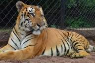 Royal Bengal tiger dies of heart failure at Hyderabad Zoo