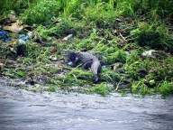 Crocodile spotted in Hyderabad's Musi river