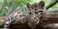 12 leopard deaths reported in Sri Lanka this year