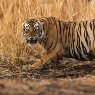 In Ranthambore, a 'love affair' between 'Prince' Hamir and an ace photographer (Book Review)