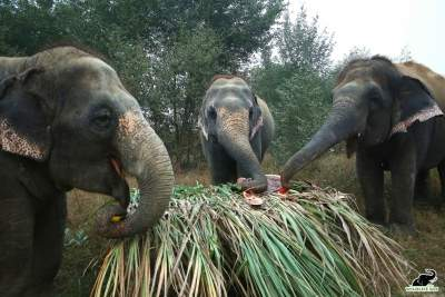 Forest elephant census using DNA dung analysis, camera traps
