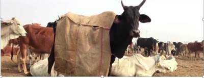 Coats for UP cows this winter