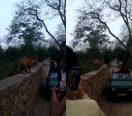 Excited tourists react as tiger walks along their vehicle