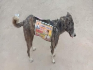 Panchayat campigning 'going to dogs', literally (IANS Special)