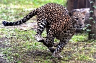 Women killed in third leopard attack in MP's Seoni since Sep