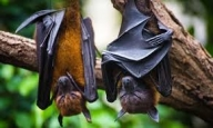 Bats in Switzerland harbour viruses with ability to jump to humans