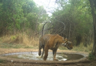 14 tigers identified in Telangana's Amrabad Tiger Reserve