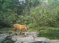Opening of Dudhwa Tiger Reserve may be delayed due to floods