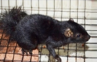 Kerala researchers upbeat after documenting 1st black palm squirrel in subcontinent