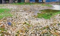 Thousands ofdead fish found floating in Yamuna