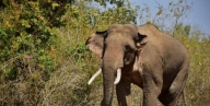 Tusker attacks forest guard in UP's Amangarh Reserve
