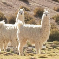 Nanobodies from llamas shows promise against Covid-19: Study