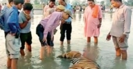 Tiger carcass found floating in UP sanctuary canal